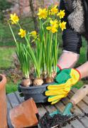 Narcissus and gardening Stock Photos
