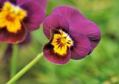 pretty violet pansy - stock photo
