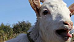 Little white goat cries Stock Footage