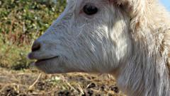 White goat cries Stock Footage