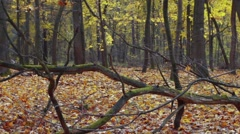 Long tracking shot from autumn forest with falling leaves Stock Footage