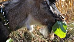 Little goat eating a leaf Stock Footage
