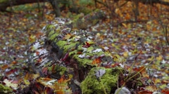 Old big tree trunk with many ants is on the ground in the autumn forest Stock Footage