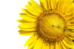Close up yellow sunflowers seed plant isolated white background use for natur Stock Photos
