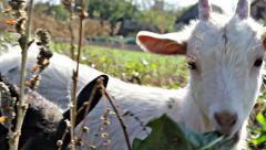 Little goats eating leaves Stock Footage
