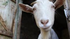 White goat sniffing the camera Stock Footage