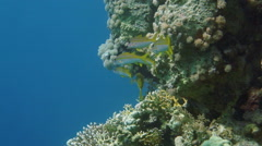 Yellowfin goatfishes (Mulloidichthys vanicolensis) in the Red Sea Stock Footage