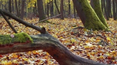 Old tree trunk with many ants is on the ground in the autumn forest Stock Footage