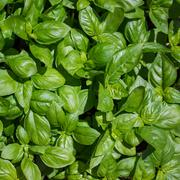 basil plant, spice scented ideal for flavoring pasta dishes - stock photo