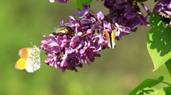 Insects sucking nectar in a flowers from common lilac bush Stock Footage