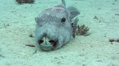 Starry puffer (Arothron stellatus) - resting on the sandy bottom Stock Footage