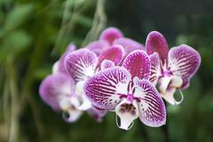Stock Photo of Phalaenopsis