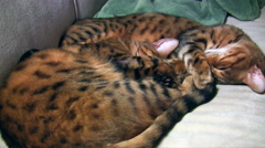 Two bengal cat brothers sleeping curled up together, breathing deeply Stock Footage