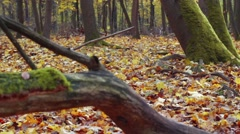 Tracking shot in the autumn forest with old tree trunk with many ants Stock Footage