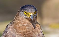 Close up portrait of a captive Golden Eagle  Aquila chrysaetos w Stock Photos