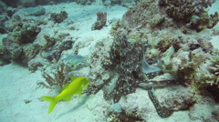 Red Octopus and Yellow-saddle Goatfish on coral reef Stock Footage