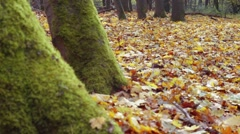 Detail shot from two moss covered trees in autumn forest with falling leaves Stock Footage