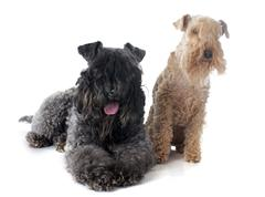 kerry blue  and lakeland terrier - stock photo