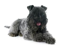 kerry blue terrier - stock photo