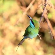 Green Bee-eater bird on brunch Stock Photos