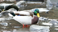 Stock Video Footage of Ducks swimming at river shore