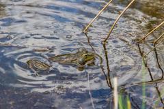 Frog in heat Stock Photos
