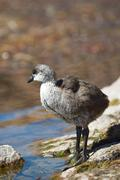 Chick of Giant Coot Stock Photos