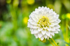Close up white dahlia hybrid flower with blurred background Stock Photos