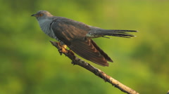 Common Cuckoo sitting on a tree branch and singing after migration Stock Footage
