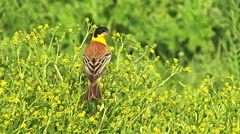 Bird Black-headed Bunting landed on the rape and singing after migration Stock Footage