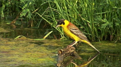 Bird Black-headed Bunting bathing in the water during hot day in the summer Stock Footage