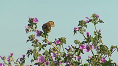 Bird Black-headed Bunting landed on the bush and singing after migration Stock Footage