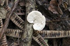 wild mushroom that grows on wood. - stock photo