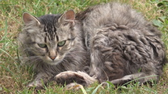 Cat animal hunt green grass wildlife cute alert hungry famine watch prepare day Stock Footage