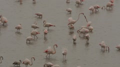 Flamingos wading, searching for food 30 Stock Footage