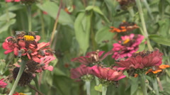 Stock Video Footage of Many bee insect collect honey rural garden pink flower gather nectar pollination