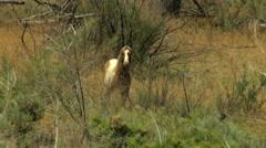 Aerial herd Wild horses livestock freedom scrubland USA Stock Footage