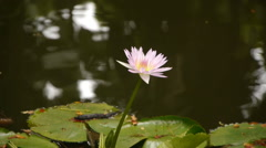 Lotus Flower in the Pond Stock Footage