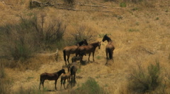 Aerial herd Wild horses livestock freedom scrubland USA Stock Footage