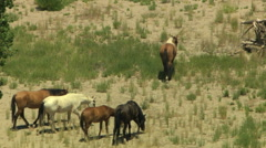 Aerial herd Wild horse livestock freedom scrubland USA Stock Footage