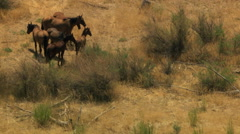 Aerial herd Wild horses livestock freedom scrubland USA - stock footage