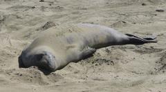 Elephant Seals Colony Stock Footage