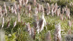 Pampas Grass Fluttering in Wind - stock footage