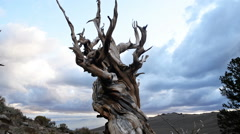 Time Lapse of Ancient Bristlecone Pine Tree at Twilight Stock Footage