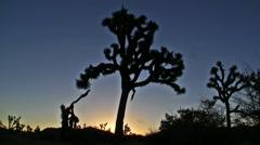 Time Lapse of Joshua Trees at Sunrise Stock Footage