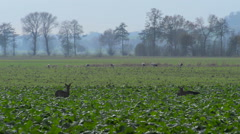 Roe Deer and Cranes in a field Stock Footage