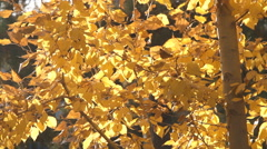 Autumn painted tree with it's leaves glowing Stock Footage