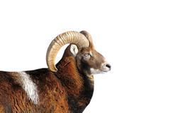 Big mouflon ram portrait isolated  over white background Stock Photos