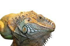 green iguana portrait isolated over white background, close up on reptile eye - stock photo