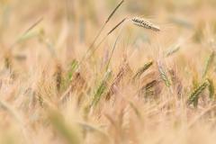 Yellow wheat field detail, image taken in summer season Stock Photos